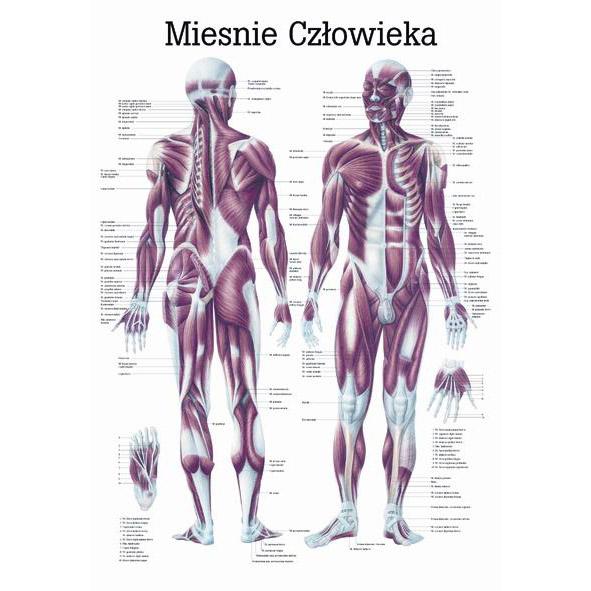 Tablica edukacyjna, plansza układ mięśniowy
