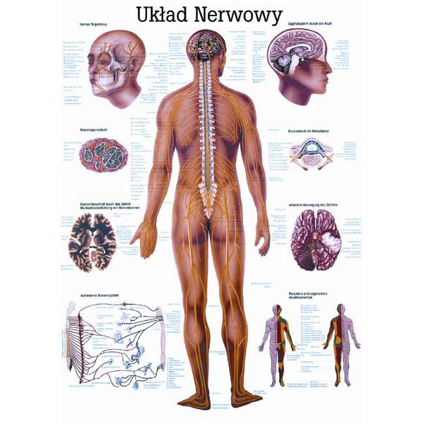 Tablica edukacyjna, plansza układ nerwowy