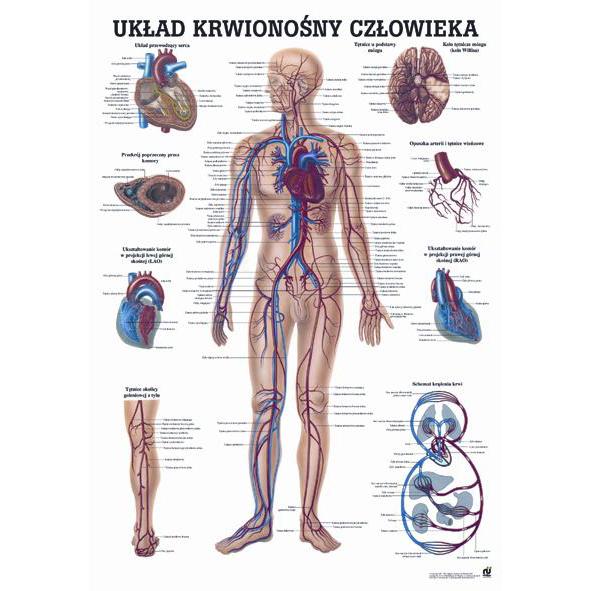 Tablica edukacyjna, plansza układ krwionośny