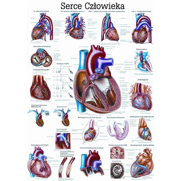 Tablica edukacyjna, plansza serce człowieka