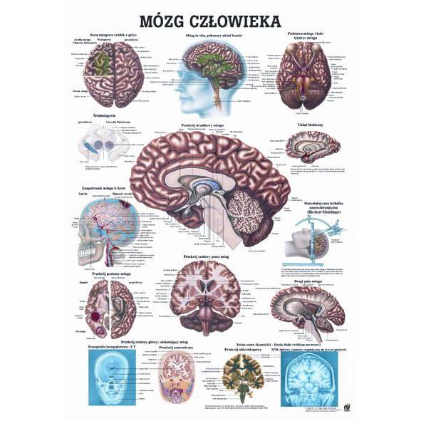Tablica edukacyjna, plansza mózg człowieka
