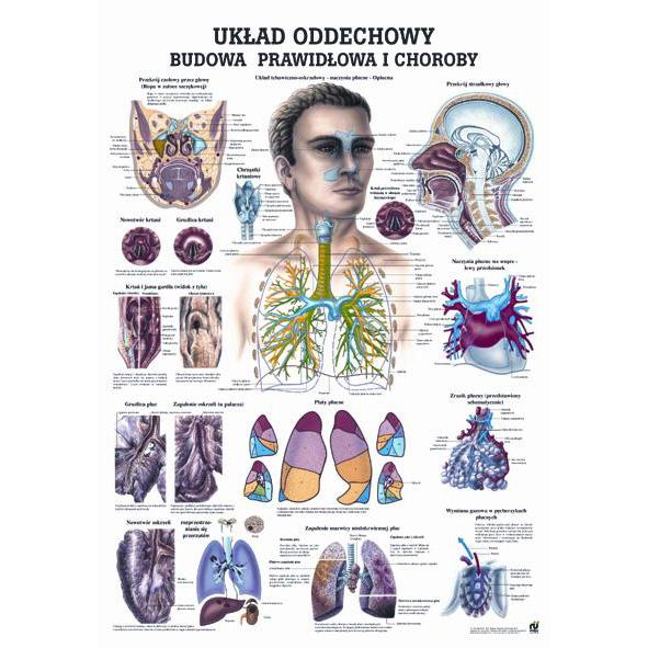 Tablica edukacyjna, plansza układ oddechowy