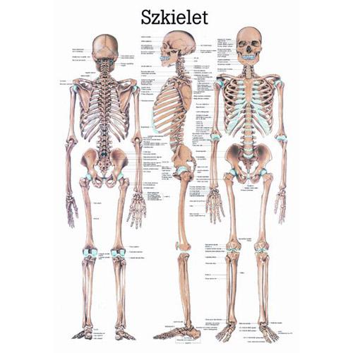 Tablica edukacyjna, plansza szkielet człowieka